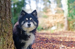 between showers 9/52 (sure2talk) Tags: taivas finnishlapphund betweenshowers park shallowdof bokeh nikond7000 nikkor50mmf14gafs we532017 52weeksfordogs 952