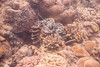 Banino-20170223-142541 (airbreather) Tags: sabah borneo coral reef fluted giant clam tridacna squamosa mushroom underwater