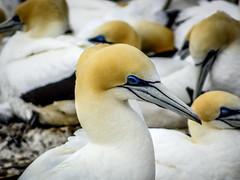 Australasian Gannet / Takapu (Lanceflot) Tags: australasian gannet seabird bird couple colony newzealand cape kidnappers takapu hastings north island breeding cheeks
