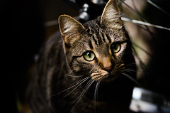 A Curious Cat (Ben Duursma) Tags: cats cat pets feline curiosity contrast eyes ears whiskers photography nikon d7000 ben duursma darkness thursday brown