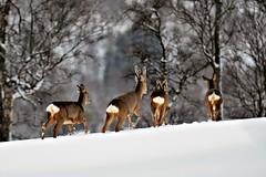 rådyr (KvikneFoto) Tags: rådyr roedeer vinter winter snø snow tamron nikon natur norge hedmark kvikne bokeh