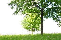 green trees (pat.netwalk) Tags: food plants green nature field corn growing organic copyrightbypatwwwnetwalkch