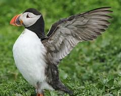 Puffin,Inner Farne,Northumberland. (Juncea) Tags: canon inner northumberland puffin farne 70d