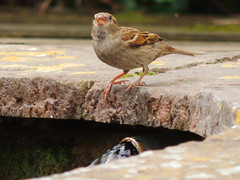 Water Sparrow (Nomadic074) Tags: water pond sparrow wildbirds