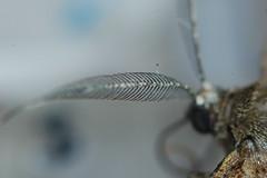Antenna (Procrustes2007) Tags: uk england insect suffolk britain wildlife flash moth nikond50 lepidoptera sudbury invertebrate wildlifephotography tamron2xteleconverter nikkor50mmais vivitarextensionrings68mmtotal