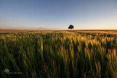 La lumire des bls (photosenvrac) Tags: lumire culture paysage arbre beauce moisson bl orge cereale thierryduchamp