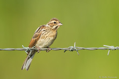 Reed Bunting (r1mmer89) Tags: reed female fence wire posing mrs barbed bunting
