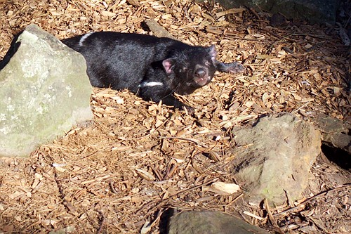 IMG_1214 Sleepy Tasmanian devil