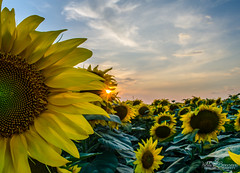 sunflower sunset (viddy_linna) Tags: sunset beautiful field bulgaria sunflowers sunflower