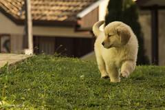 Mel (marlosfabris) Tags: brazil dog paran goldenretriever canon br curitiba 700d t5i 18135mmisstm