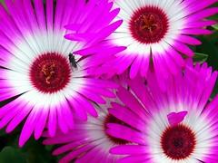 Shocking Pink (saxonfenken) Tags: pink flower garden insect pinkandwhite bigmomma 6867 challengeyou challengewinner flowerandinsect 15challengeswinner herowinner pregamesweepwinner pregamesweep july2014 6867flowers