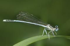 Platycnemis pennipes - White-legged Damselfly (Yagosan) Tags: damselfly whiteleggeddamselfly platycnemispennipes