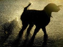 A Golden Silhouette (Midnight and me) Tags: dogs water silhouette golden midnight dogbeach beachscene standardpoodle goldenwater blackstandardpoodle midnightandme thelittledoglaughedstories midnightinsilhouette