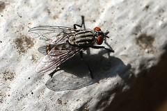 Checkerboard fly (Amobia signata)