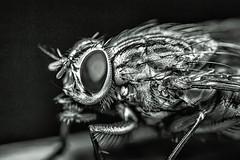 Flesh Fly B&W Close up Macro (Carl@CDHPIX) Tags: macro nature closeup flesh fly wings eyes legs hairs fleshfly