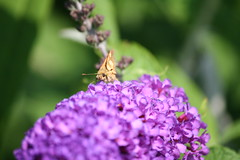 Remember, I'm Always Watching You (eyriel) Tags: macro nature butterfly bug insect bush purple bokeh wildlife