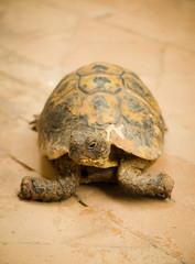 George the Tortoise at Riad Karmela (alexstanhope) Tags: africa city travel african tortoise arabic morocco arab marrakech maghreb riad morrocan riadkarmela
