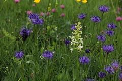 Accostamento (lincerosso) Tags: flowers poesia fiori dolomiti bellezza prati platanthera comelico armonia phyteuma fioriselvatici pianteerbacee estatealpina prateriedimontagna torbieredidanta