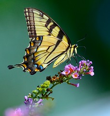 Meditation (George McHenry Photography) Tags: butterflies swallowtails easterntigerswallowtails