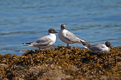 Bonaparte's Gulls (R Hardy) Tags: gulls bonapartesgull