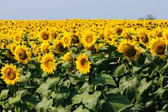 Field of sunflowers in Allegan County (bill.d) Tags: summer usa rural michigan farm unitedstatesofamerica sunny sunflower allegan explored ruralmichigan allegancounty puremichigan cheshirecenter