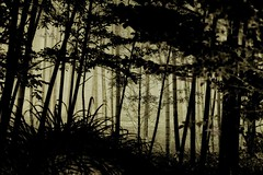 bamboo grove (Y.Hassy) Tags: japan leaf natural bamboo  d800     hyougo
