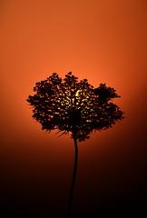 [ Prendere il sole - Getting the sunshine ] DSC_0209.2.jinkoll (jinkoll) Tags: sunset red wild sky sun flower silhouette angelica calabria