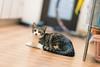 DSC06919.jpg (uedanagano) Tags: cats pets animal zeiss sony alpha 135mm a99 sal135f18za