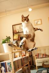 Musashi (rampx) Tags: cats cat jump action kittens neko   musashi miaw twittertuesday