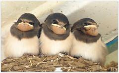 Swallows in Cellardyke (eric robb niven) Tags: nature walking scotland dundee wildlife cellardyke anstruther swallows ericrobbniven lumixfz72