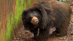A Messy bear (rosarioc62) Tags: animals restaurant goa sanctuary saude bondla