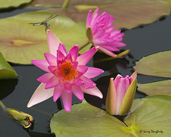 Water lilies with a little visitor......D800 (Larry Daugherty) Tags: flower nature nikon louisiana waterlily lily blossom bloom botanicalgarden d800 neworleansbotanicalgarden nikond800 saariysqualitypictures nikon300mmf4lens