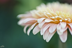 Gerbera (Ali Llop) Tags: pink naturaleza flower macro planta nature yellow flor rosa gerbera amarilla