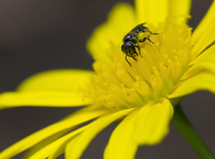 Wasp on a Yellow Flower (Randy E. Crisp) Tags: flower macro birds yellow canon landscape dallas nikon texas wasp wildlife flash 14 100mm yellowflower bee irving 16 20 fullframe 13 extender 400mm northtexas 550d 1d4 560mm t2i 5d2 5dii 1dmkiv 1dmk4 randyecrispphotography randycrisp randyecrisp