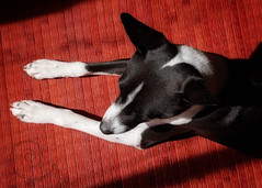 "8.12 Reo ""Black and White on Red"" (jezandia) Tags: reobasenjidog 12monthsfordogs14"
