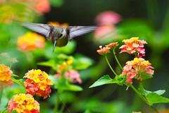 I'm coming In! (Maggggie) Tags: bird garden hummingbird lantana rubythroatedhummingbird
