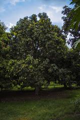 (Mustafa Hashmi) Tags: pakistan green nature nikon mango 1855mm punjab muzaffargarh d5100