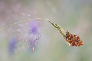 Boloria aquinolaris (Granberry Fritillary, Veenbesparelmoervlinder)