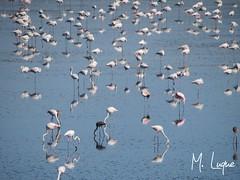 Flamencos y reflejos (Visitas Fuente Piedra) Tags: espaa naturaleza andaluca spain flamingos aves agosto verano birdwatching flamencos mlaga 2014 fuentedepiedra lagunadefuentedepiedra