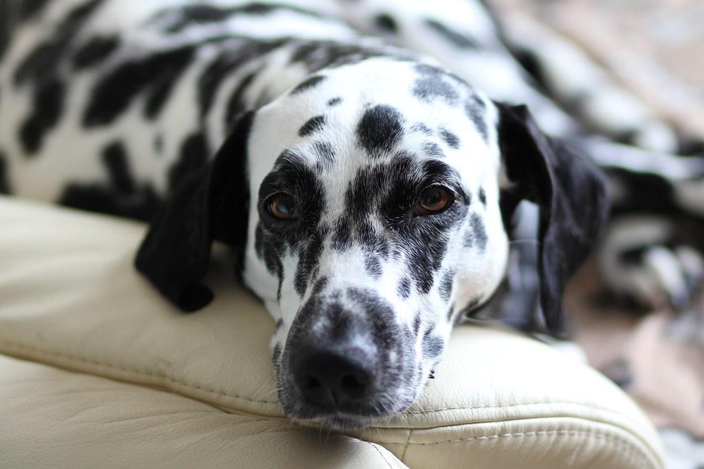 Resultado de imagen para dalmatian cuddle