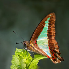 Blue Triangle Butterfly (aussiegall) Tags: butterfly bug garden insect spring wings bluetriangle