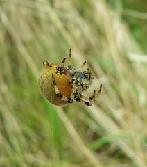 Pregnant Garden Spider!  #Massive #Arachnid (qualitylindsey) Tags: uk spiders arachnid massive gardenspider