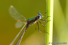 Libelle (binax25) Tags: summer macro animal insect dragonfly makro libelle insekt tier somme flgel