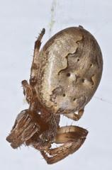 2264HOMEa (preacher43) Tags: illinois backyard orb spotted weaver geneseo henrycounty