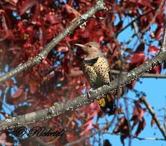 Pic Flamboyant - Northern Flicker ( F ) (ricketdi) Tags: birds woodpecker ngc flicker northernflicker colaptesauratus specanimal picflamboyant coth5