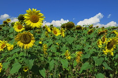 Bachevo Village (near Razlog) (lyura183) Tags: village bulgaria sunflower    bachevo