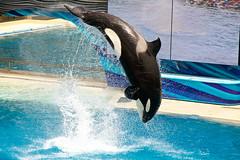 Shouka10 (SkyBaby2) Tags: world ocean sea san dolphin diego killer whale orca seaworld