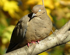 Enjoying The Afternoon Sun (Explore) (Diane Marshman) Tags: sleeping brown black tree bird fall nature leaves yellow closeup season maple branch mourning dove wildlife gray feathers tan large foliage spots resting