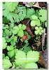 IMG_0444 (盒子(Box)) Tags: 三峽 茶園 槭樹 蛇莓 菫菜 薊 森林步道 鳥不踏 扛板歸 熊空農場 台灣農林 熊空休閒農場 熊空茶園 海拔七百公尺