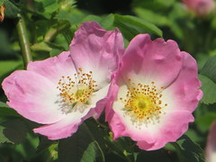 IMG_6391 (hemingwayfoto) Tags: rose flora pflanze gelb blume blte busch botanik blhen rosacanina heckenrose einheimisch bltenstempel rosengewchs